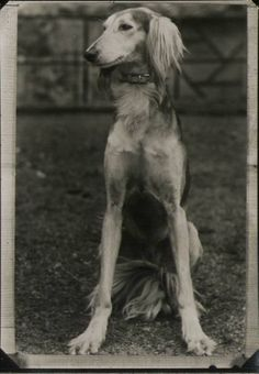 An old-fashioned #saluki