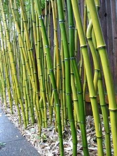 Flower Gardening How to grow a Bamboo fence. Could be good to know if they actually DO put a bar in next to my house. - Bamboo makes an excellent natural privacy fence, but you must choose and plant carefully to avoid unwanted spreading. Bamboo Screening Fence, Natural Privacy Fences, Bamboo Fence, Bamboo Wall, Bamboo For Privacy, Plant Screening, Privacy Plants, Natural Fence, Bamboo House