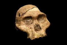 The skull of Australopithecus africanus, 'Mrs Ples', found in the Cradle of Humankind