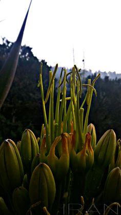 Flores de Agave #Anteras Parque Nacional El Chico, Hidalgo. México