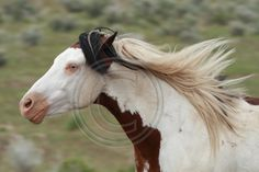 Shaman (South Steens Wild Horses M02482c) Prints, greeting cards, holiday cards and canvases available on my website.