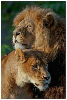 Leone e leonessa #ChiardilunaMaterassi