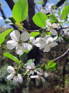 Montmorency cherry tree in bloom
