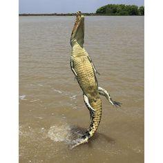Salt-water Croc at Kakadu