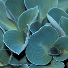 Blue Mouse Ears Hosta Plant in Fall 2012 from Jackson & Perkins on shop.CatalogSpree.com, my personal digital mall.
