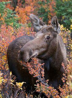 Moose Cow, Alaska
