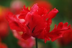 Parrot Tulips   Red Parrot Tulip   Flickr - Photo Sharing!