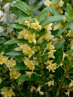 Dendrobium Nobile Var Virginalis | HOA PHONG LAN VIỆT-VIETNAM ORCHIRDS