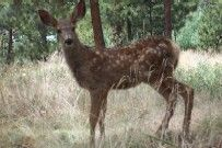 """A """"Bambi""""  that hangs around Hands of Spirit's Crystalline Temple"""