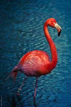 Flamingo with Amazing Colors by Andrew Peach.they also come in yellow:):):) Flamingo Wallpaper, Flamingo Art, Pink Flamingos, Pretty Birds, Beautiful Birds, Animals Beautiful, Cute Animals, Animal Fun, Tropical Birds