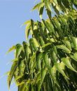 Neem, known as the 'Divine Tree' in India. Neem oil is used in Ayurvedic medicine to calm inflammatory skin conditions, joint pains and muscle aches. Extracts of neem leaves and seeds have also demonstrated anti-fungal, antibacterial, anti-diabetic and anti-viral properties in various studies.  All parts of this amazing tree can be used.