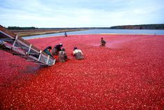 Cranberry Harvest | I had no idea that cranberry harvesting required people to litteraly walk among them | Photo source: Wikipedia  #cranberries