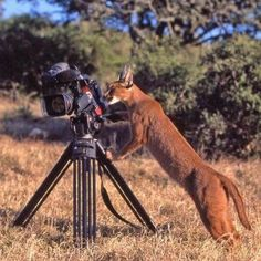 Quite a few are hanging around the property.until one carried off one of my cats. They can leap ft or more into the air after birds, and often take down small buck in the surrounding mountains. Caracal Cat, Animal Communication, Camera Shy, Spiritual Development, African Safari, Lynx, Natural World, Big Cats, Pets
