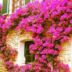 Bougainvillea/paper flowers - my favorites!  Hope to have a house covered in these one day.