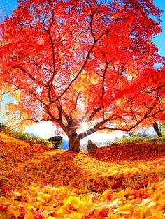 Autumn Tree of Life Beautiful World, Beautiful Places, Beautiful Pictures, Fall Wallpaper, Nature Wallpaper, Fall Pictures, Nature Pictures, Fotografia Macro, Autumn Scenes