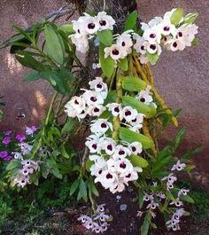 (mnt) Baixe agora mesmo o Manual de Orquídeas — Guia Definitivo - Orquídeas para Iniciantes Dendrobium Nobile, Beautiful Flowers, 1, Vanda Orchids, Daisies, Vegetable Gardening, Flower Arrangements, Floral Arrangements, Growing Orchids