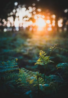 Setting Sun in the woods
