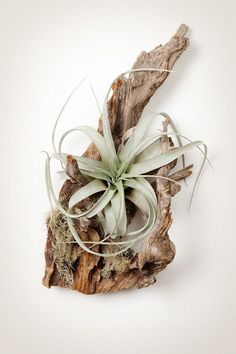 All About Air Plants | The Anastasia Co.