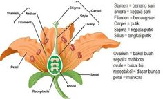 Bagian bagian bunga kembang sepatu beserta fungsinyaciri bunga bunga lengkapbunga lengkap dan tidak lengkap beserta contohnyayang dimaksud bunga lengkap ccuart Image collections