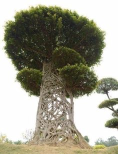 The knotted arbosculpture of a 'Spider's Web' tree (strangler fig)
