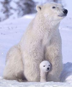 Polar Bears, Wapusk National Park, Manitoba, Canada by Keren Su