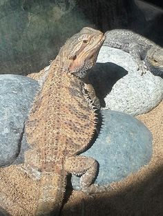 A Hornytoad lizard at the fair Fresno Fair, Lizards, Animals, Animales, Animaux, Animal, Animais, Dieren