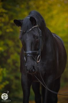 * Elena * the beautiful Trakehner Mare BR Photographs