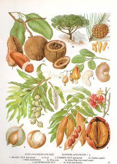 Vintage antiguo botánico imprimir planta de nuez de Brasil 31 impresión grabado botánico, lámina bookplate, nueces alimentos plantas planta pared