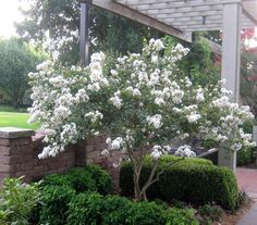 A list of dwarf (3' - 5')and semi-dwarf (6' - 12') crepe myrtles in all colors. They don't need annual pruning. This is a picture of an 'Acoma' semi-dwarf.