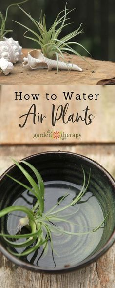 How to water air plants to keep them healthy and happy. #airplants #tillandsia #indoorplants #gardentips #watering
