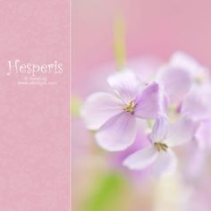 hesperis matronalis by alexedg