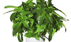7-fabulosos-usos-de-la-cascara-de-platano-4.jpg para lustrar las hojas del as plantas de interior