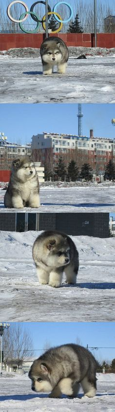 So This Canine Exists And He's Ridiculously Fluffy http://ibeebz.com