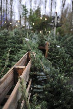 Evergreens, Christmas trees