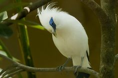 Critically Endangered. The Bali Mynah is distributed and endemic to the island of Bali, where it is the island's only surviving endemic species.  This rare bird was discovered in 1910 and is one of the world's most critically endangered birds.   In fact, it has been hovering immediately above extinction in the wild for several years.