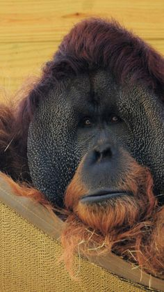 Orangutan, the primitive.  The orangutans are the two exclusively Asian species of extant great apes. Native to Indonesia and Malaysia, orangutans are currently found in only the rainforests of Borneo and Sumatra.