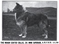 1910  Rough Collie