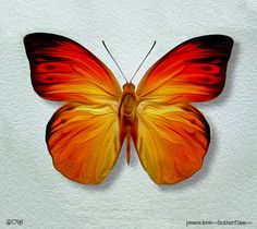 Fire Red Tip Oranges Colorful Butterfly by fineartdesigngallery