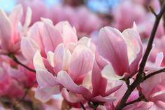 IL SIGNIFICATO DEI #FIORI LA #MAGNOLIA Nel linguaggio dei fiori rappresenta la bellezza superba.  La magnolia è un piccolo albero da fiore o un folto cespuglio di grande impatto visivo, perfetto come punto focale in mezzo al prato. Alcune varietà possono essere coltivate in vaso. La maggior parte delle magnolie impiega fino a 5 anni per produrre i primi fiori che si schiudono per alcune settimane in primavera.