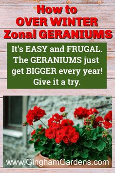 Learn how to keep geraniums over winter, or overwinter zonal geraniums. It's easy, it's frugal and it takes up no space. Plus get other tips for propagating geraniums from cuttings. #frugalgardeningtips #plantpropagation #redgeraniums