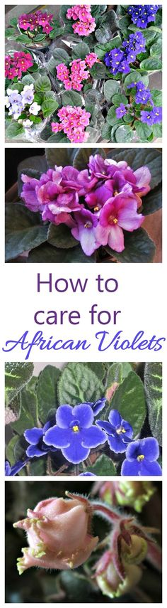 Indoor Container Gardening African violets are one of the few indoor houseplants that will flower year round. They can be a bit finicky to grow but these growing tips will help you. - African Violets are house plants with showy blooms Container Gardening, Gardening Tips, Indoor Gardening, Vegetable Gardening, Organic Gardening, Violet Plant, Indoor Flowering Plants, Inside Plants, Garden Gifts