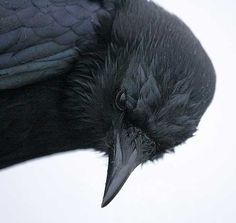 A crow reminds me of playing Crow with my grandaddy. Beautiful upclose shot of the crow. The Crow, Beautiful Creatures, Choucas Des Tours, Foto Picture, Quoth The Raven, Jackdaw, Crows Ravens, Tier Fotos, Fauna