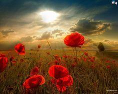 poppy-10a.jpg 1280 × 1024 pixlar