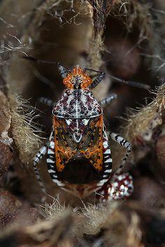 ˚Scentless plant bug (Niesthrea louisianica)
