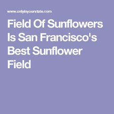 Field Of Sunflowers Is San Francisco's Best Sunflower Field
