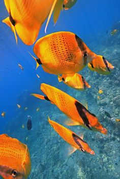 Milletseed Butterflyfishes