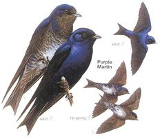 how to keep sparrows away from purple martin houses