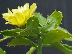 Resultado de imagen para cactus  piloso amarillo