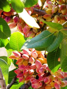 Pistachio tree on Aegina, Chew. by Kim, via Flickr