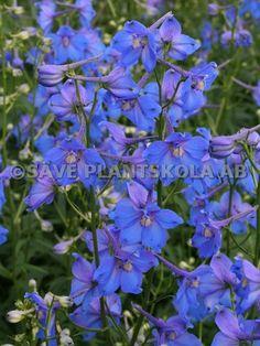 DELPHINIUM belladonna ´Piccolo´ - Säve Plantskola AB